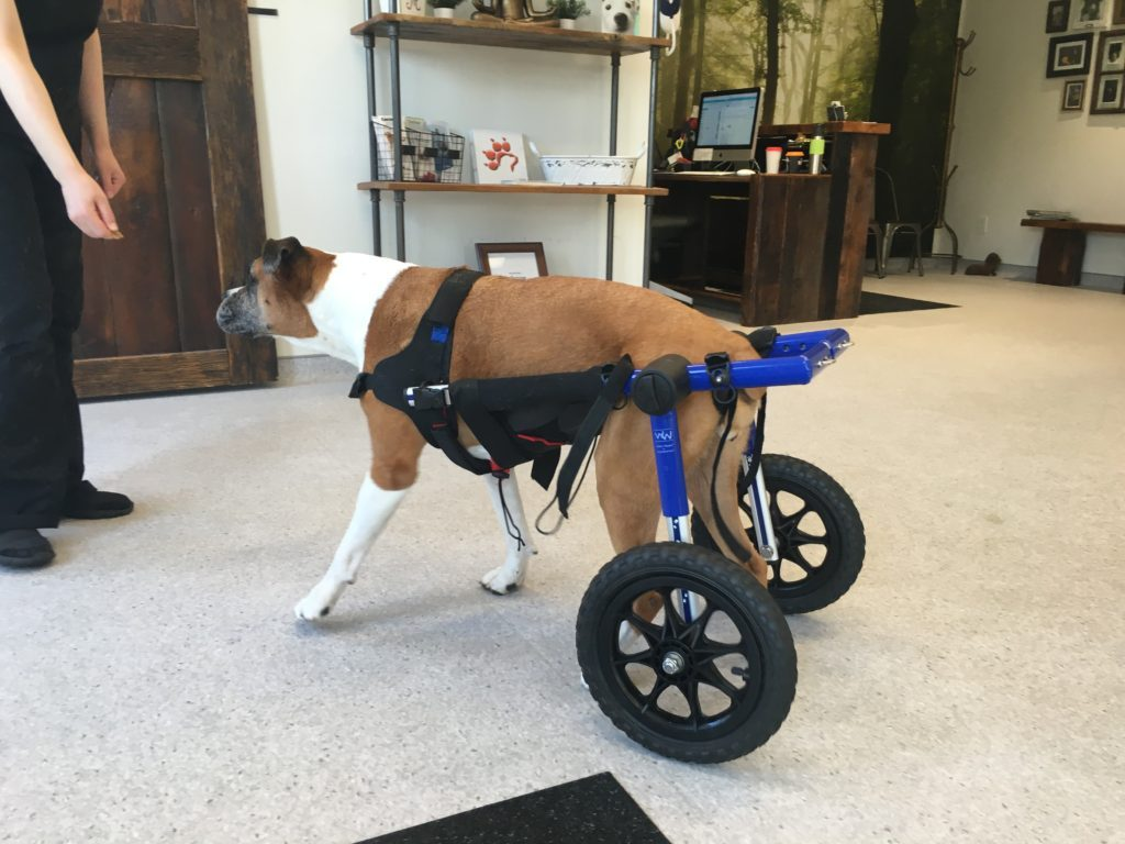 Dog Wheelchairs: When and Why Your Dog May Need One