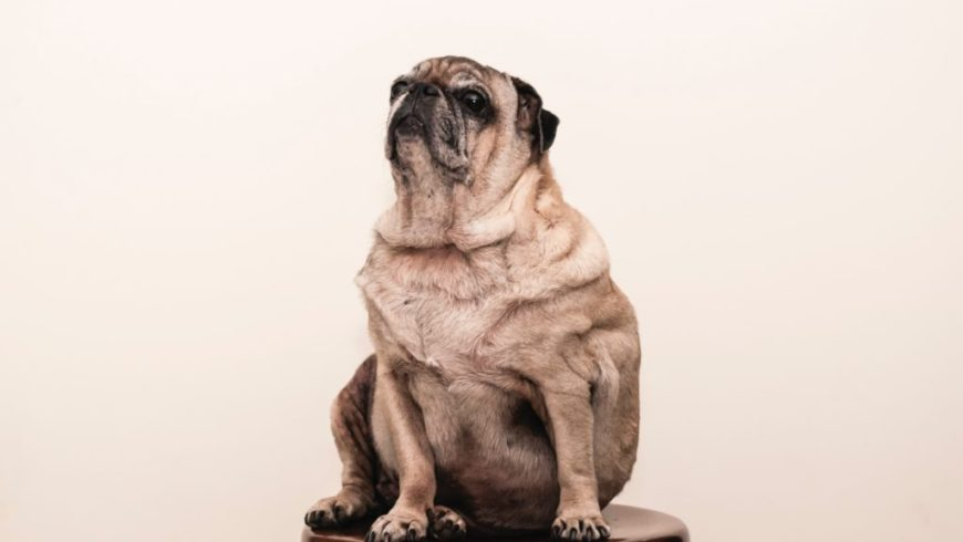 How Weight Loss Management Can Impact Your Dog's Health